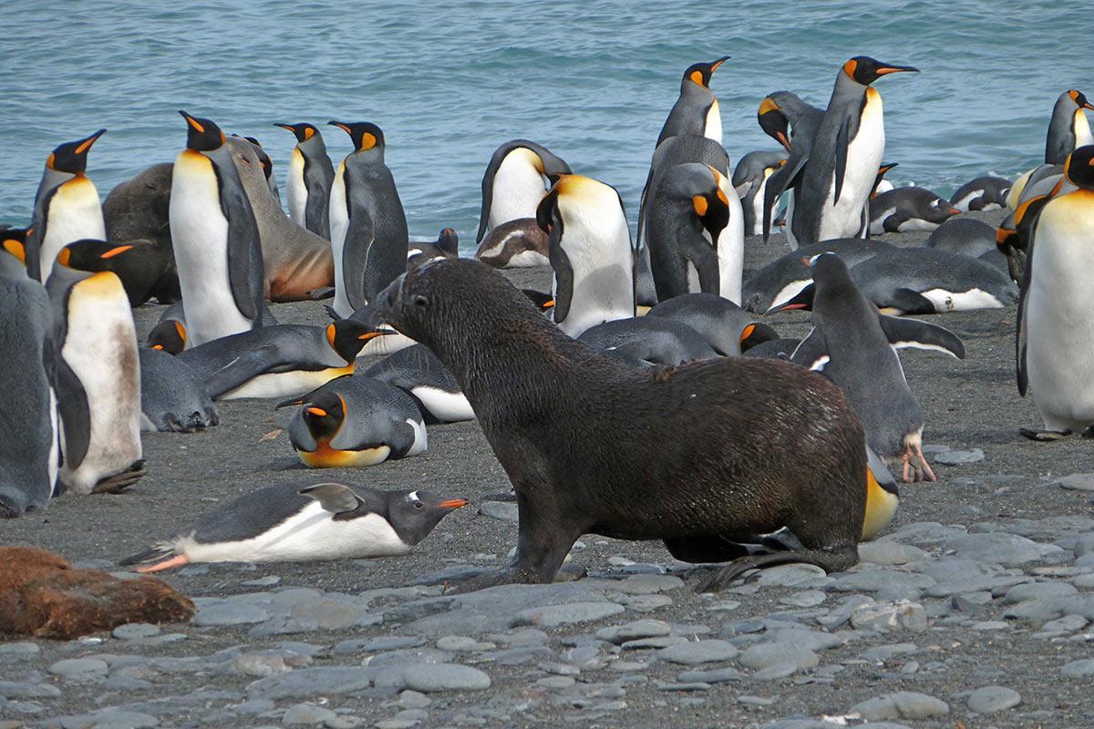Kaiserpinguine in der Antarktis (Foto: Lehmann)