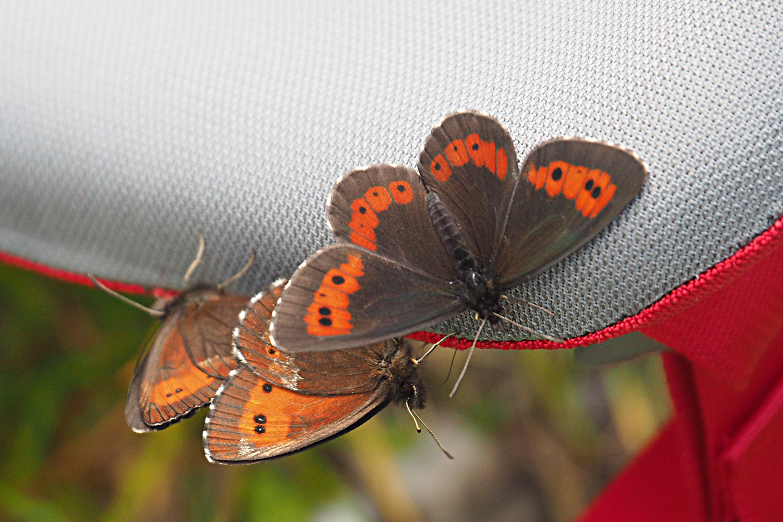 Schmetterlinge im Angerbachtal . Karwendel (Foto: Manuela Hahnebach 2017)