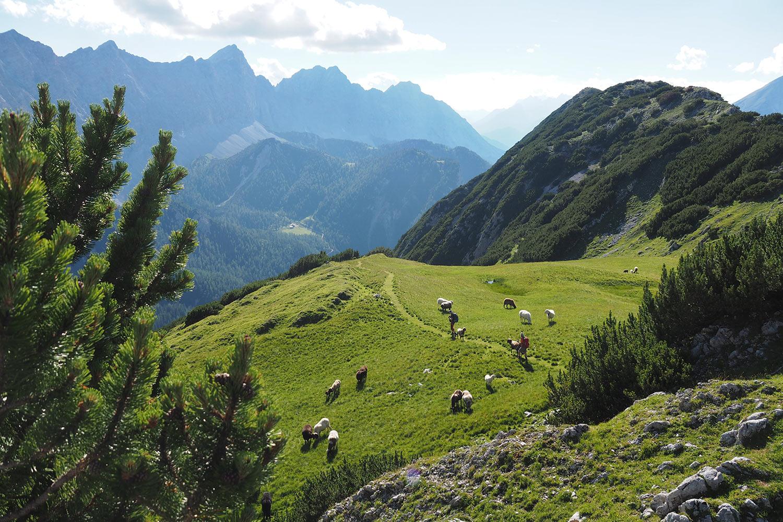 Schafe an der Sunntiger-Alm . Karwendel (Foto: Manuela Hahnebach 2017)