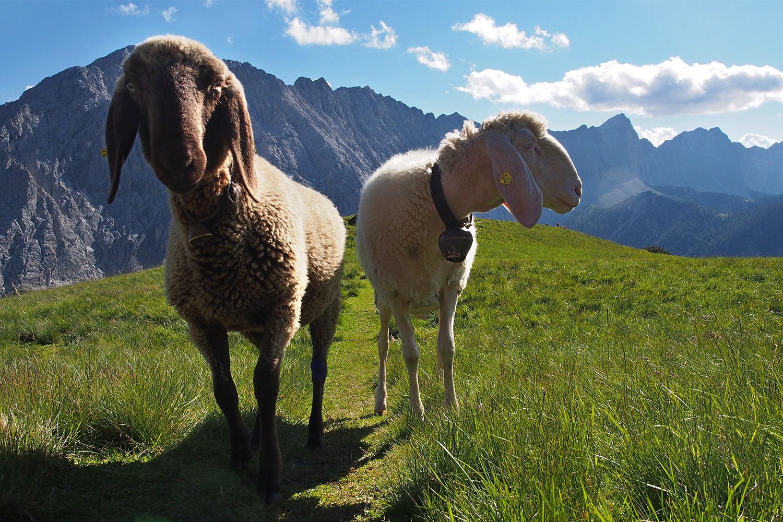 Schafe an der Sunntiger-Alm . Karwendel (Foto: Andreas Kuhrt 2017)