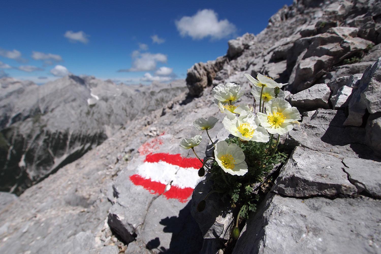 Anemonen an der Speckkarspitze . Karwendel (Foto: Andreas Kuhrt 2017)