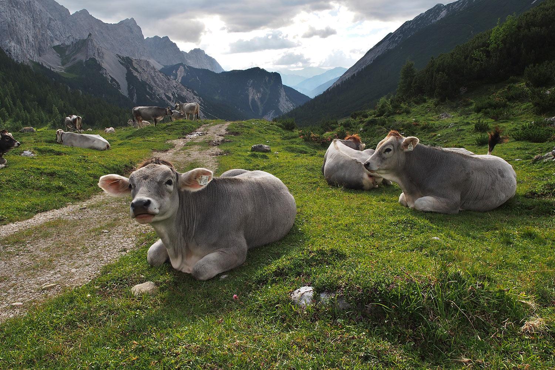 Kühe beim Überschalljoch . Karwendel (Foto: Andreas Kuhrt 2017)