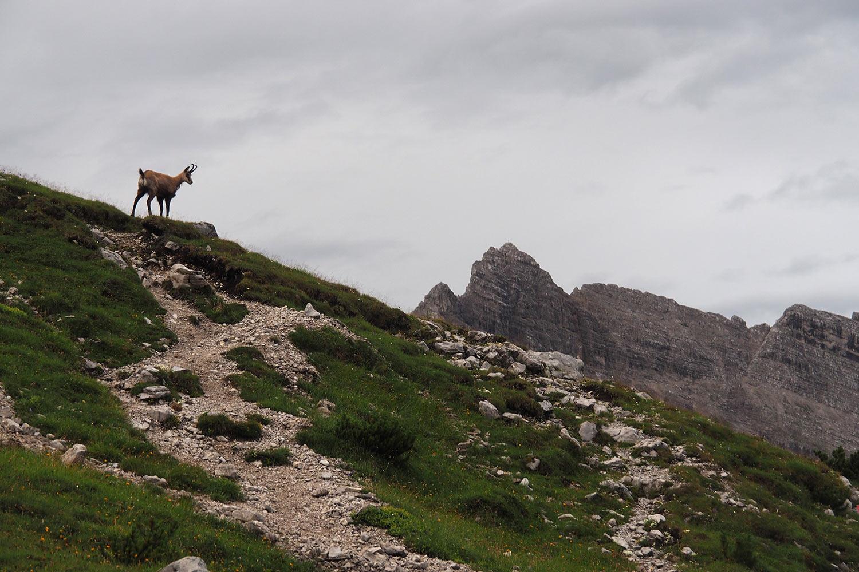 Gämse bei der Pfeishütte . Karwendel (Foto: Manuela Hahnebach 2017)
