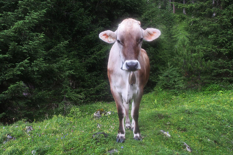 Kuh im Angerbachtal . Karwendel (Foto: Andreas Kuhrt 2017)
