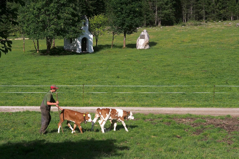 Viehtrieb an der Möslalm . Karwendel (Foto: Andreas Kuhrt 2017)