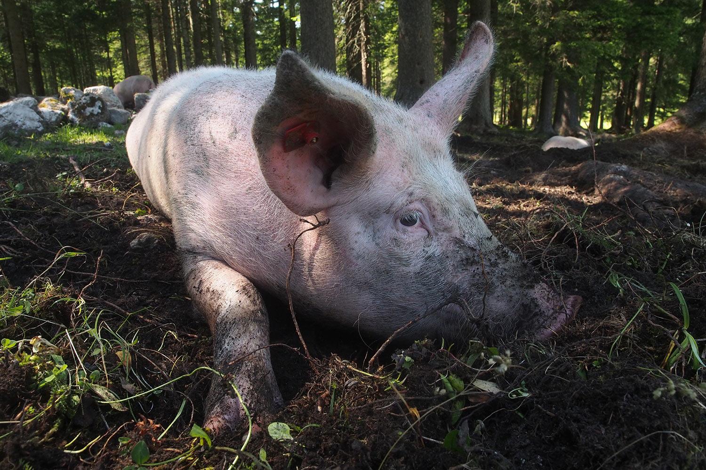 Schweinchen an der Möslalm . Karwendel (Foto: Andreas Kuhrt 2017)