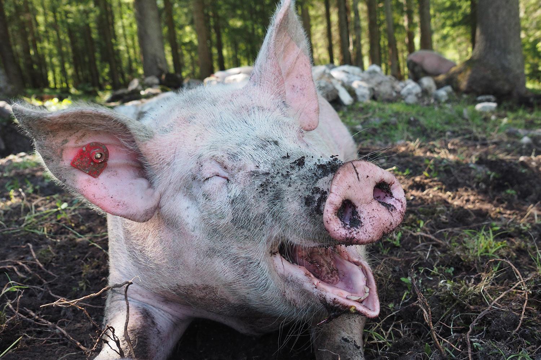 Schweinchen an der Möslalm . Karwendel (Foto: Manuela Hahnebach 2017)